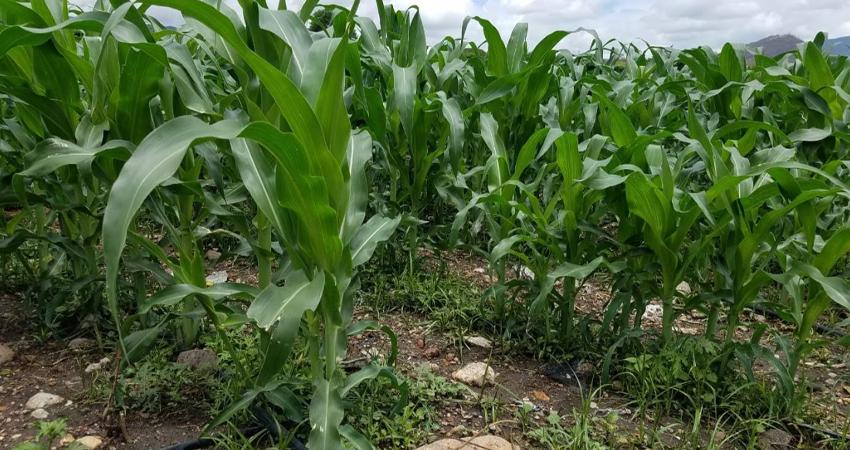Productores de Quilalí aprovechan las primeras lluvias para la siembra de maíz y frijoles