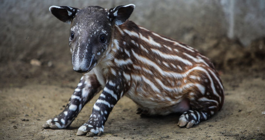 En Nicaragua aún habitan libremente entre 350 y 400 ejemplares de tapires.
