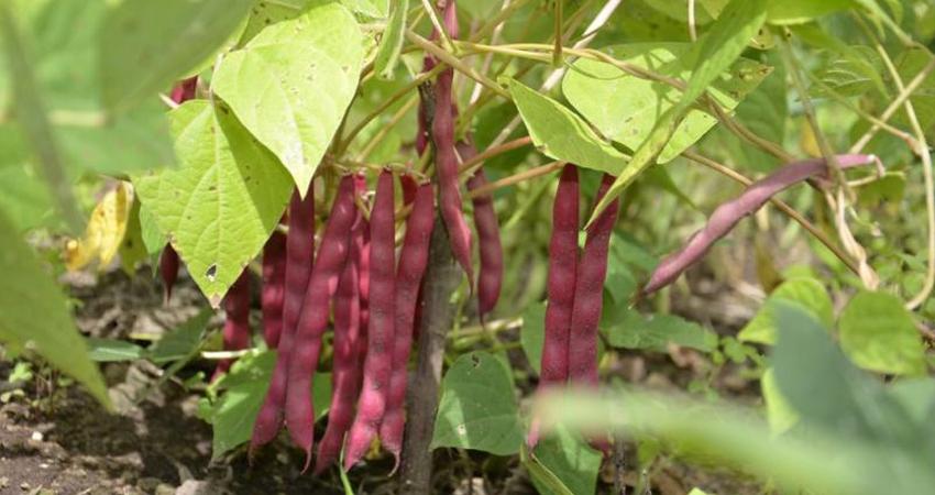 Lluvias afectan sacada de la cosecha de frijol