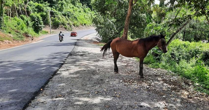 Evitar accidentes y maltrato animal es parte de los objetivos que busca cumplir la Alcaldía de Quilalí con la aplicación de multas a dueños de semovientes que deambulan en la vía.