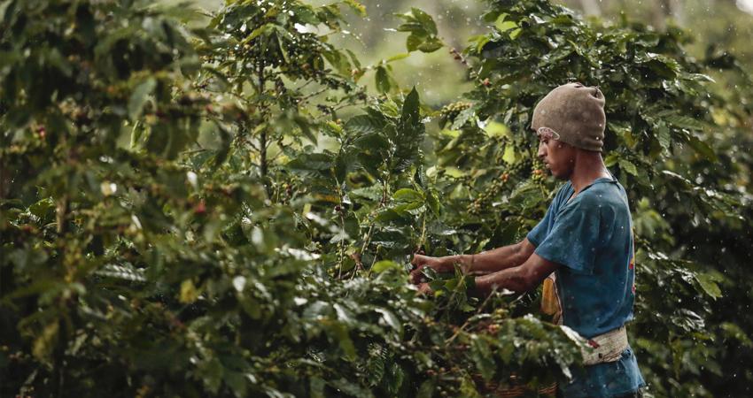 Los bajos precios en el mercado internacional siguen causando afectaciones para los productores de café en la zona norte.