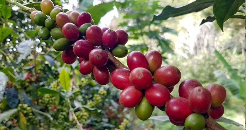 Debido a que muchas personas no podrán viajar fuera de Nicaragua, esperan que haya suficiente mano de obra para la recolección de este año.