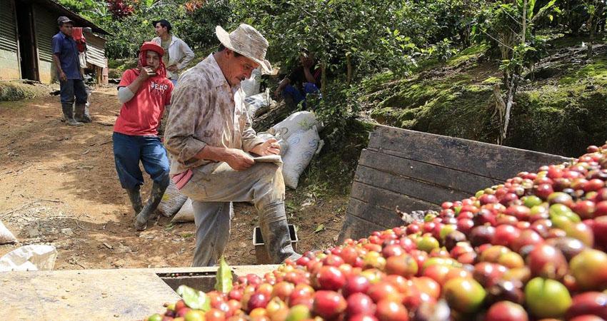 El flujo de migrantes nicaragüenses a Costa Rica sigue siendo grande, la principal motivación está ligada a la parte económica y muchos deciden unirse a los cortes de café.