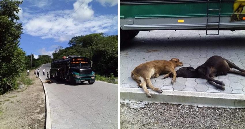 Los terneros tenían 6 meses y estaban valorados en más de 25 mil córdobas. El conductor afirma que el ganado circulaba sobre la vía sin ninguna señal preventiva.